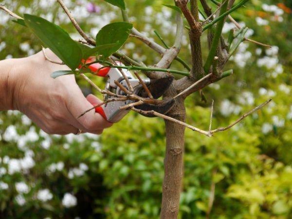 zitronenpflanze schneiden