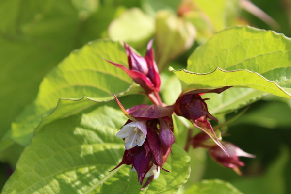 Leycesteria formosa Purple Rain offene, weisse Blüte in roter Ähre