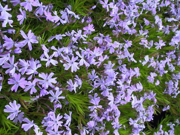 Flammenblume Phlox subulata emerald cushion blue