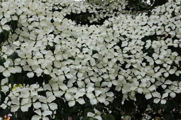 Cornus kousa chinensis Wieting's Select