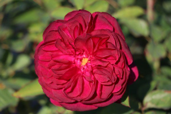 Rose Darcey Bussell®