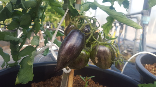 Klettergerüst Tomate : Wildtomate rote murmel: lubera.de