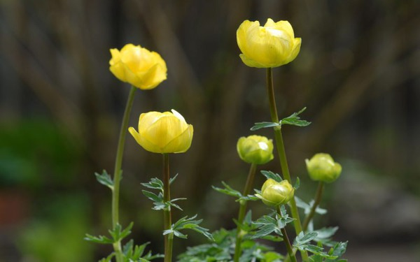 Trollius x cultorum 'Lemon Queen'