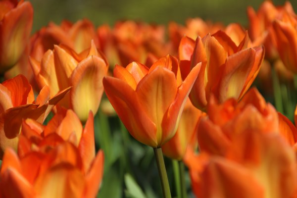 Fosteriana-Tulpe 'Orange Emperor'
