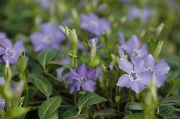 Vinca minor 'Bowles'- Immergrün