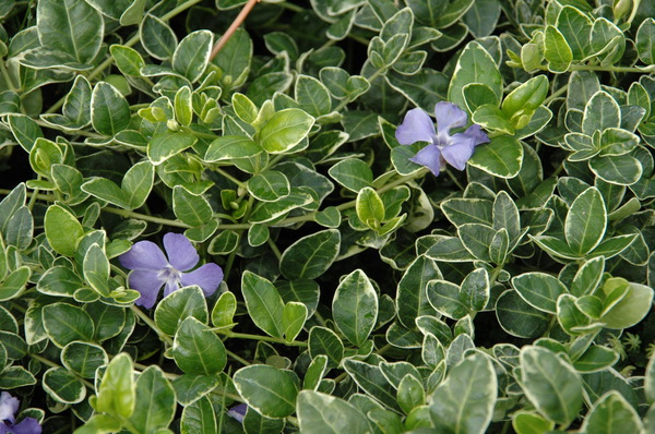 vinca minor 39 ralph shugert 39 panaschiertes immergr n. Black Bedroom Furniture Sets. Home Design Ideas