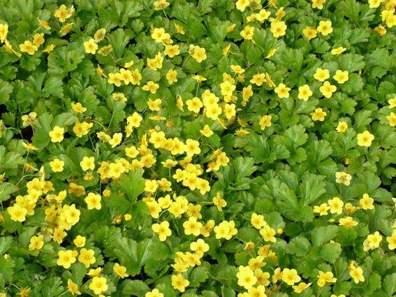 Waldsteinia Ternata Golderdbeere Lubera Ch