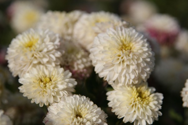 Chrysanthemum x hort. White Bouquet Lubera