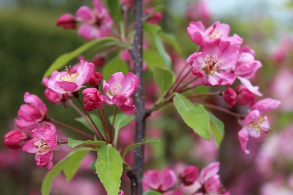 Malus Hillieri Zierapfelbaum Blüten