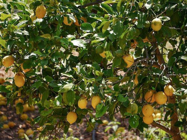 zitronenbaum verliert blätter