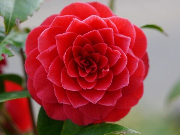 viele sorten kategorien Lila Kamelie Impatiens Samen Balkon Topf Bonsai Blumensamen Kamelie Balsamin Samen 120 st/ücke 10