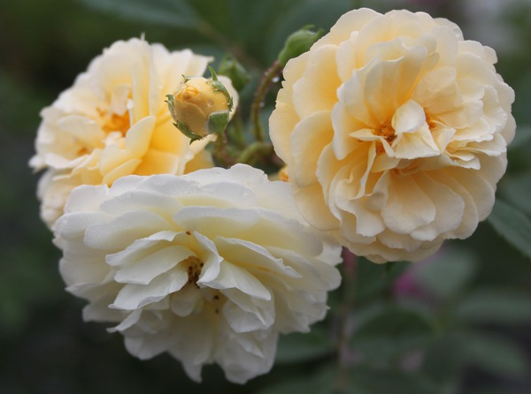 öfterblühende Ramblerrose Ghislaine de Feligonde Lubera