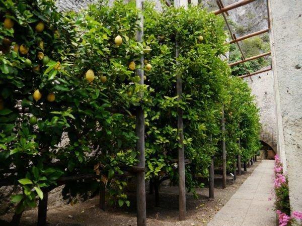 Die Zitrone überwintern - Schritt-für-Schritt Anleitung und Pflegetipps